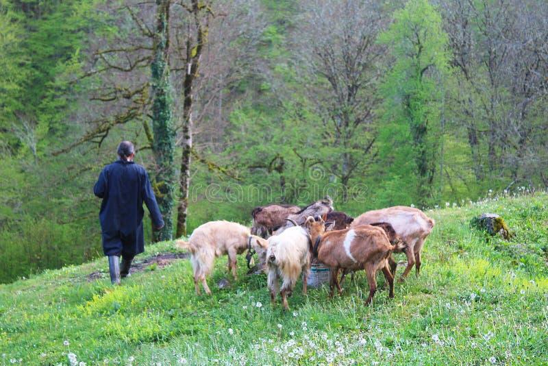 Monje y cabra ortodoxos de Chriastian en hierba y dientes de león en el patio del monasterio de Djurdjevica Tara fotos de archivo