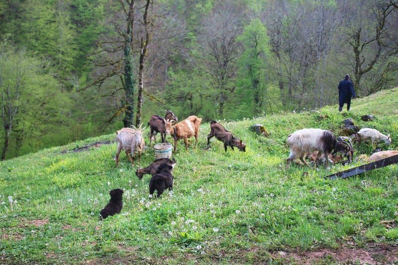 Monje y cabra ortodoxos de Chriastian en hierba y dientes de le?n en el patio del monasterio de Djurdjevica Tara fotografía de archivo