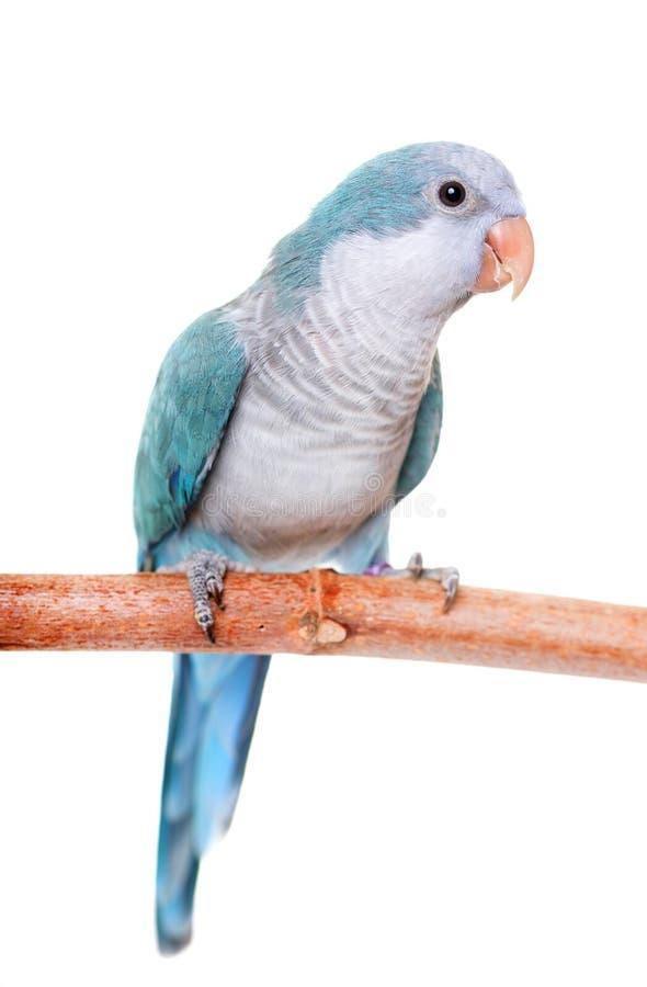 Monk parakeet in studio stock images