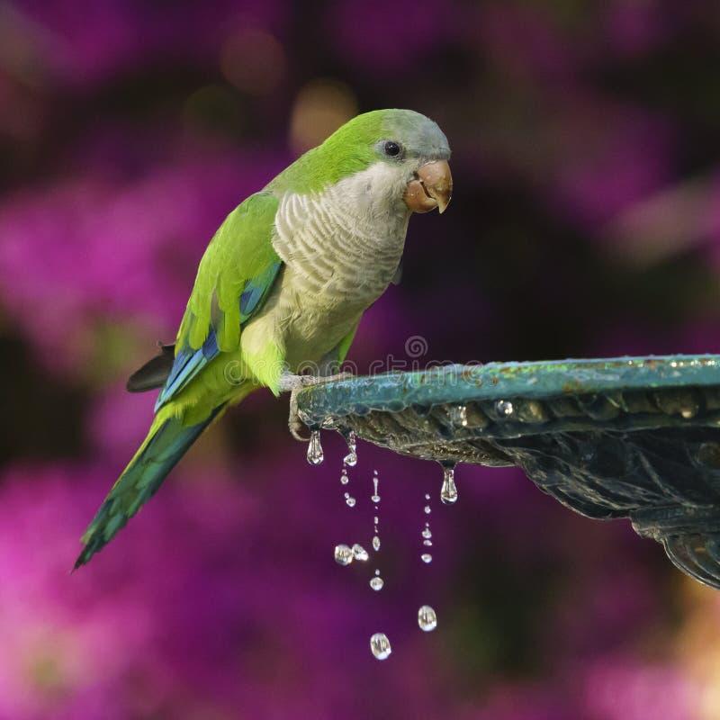 Monk Parakeet and Iron Fountain stock photography