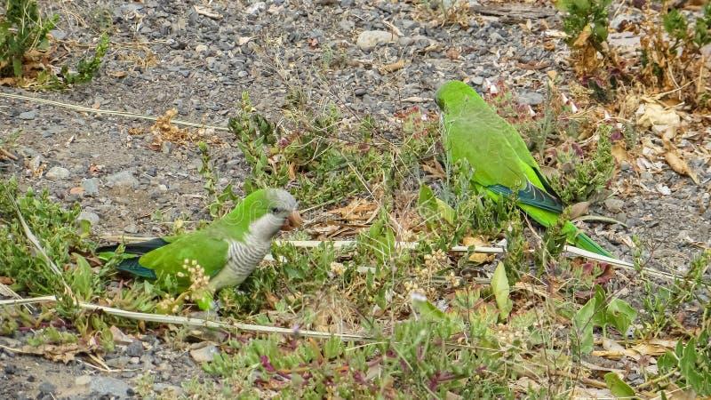 Monk Parakeet (Myiopsitta monachus) på Kanarieöarna royaltyfri fotografi