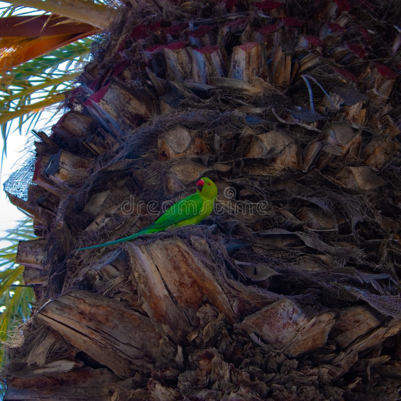Monk parakeet Myiopsitta monachus parrot on the palm tree, Tenerife, Canary islands, Spain - Image stock photo