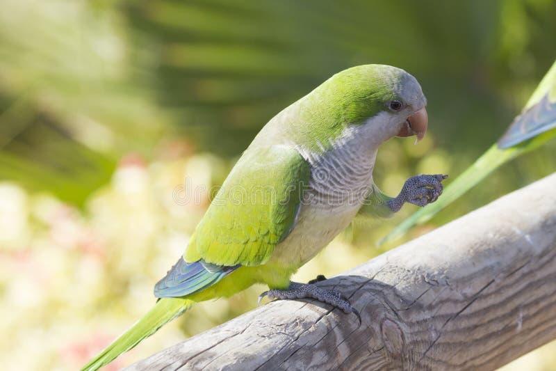 Download Monk Parakeet  (Myiopsitta Monachus) Stock Photo - Image of monk, birds: 37556206