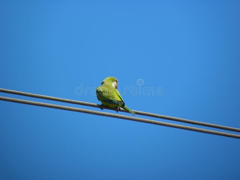 A monk parakeet or green parrot royalty free stock photography