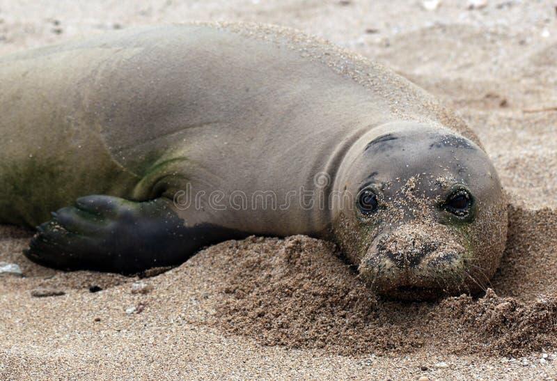 Monk Seal, Hawaii stock photos