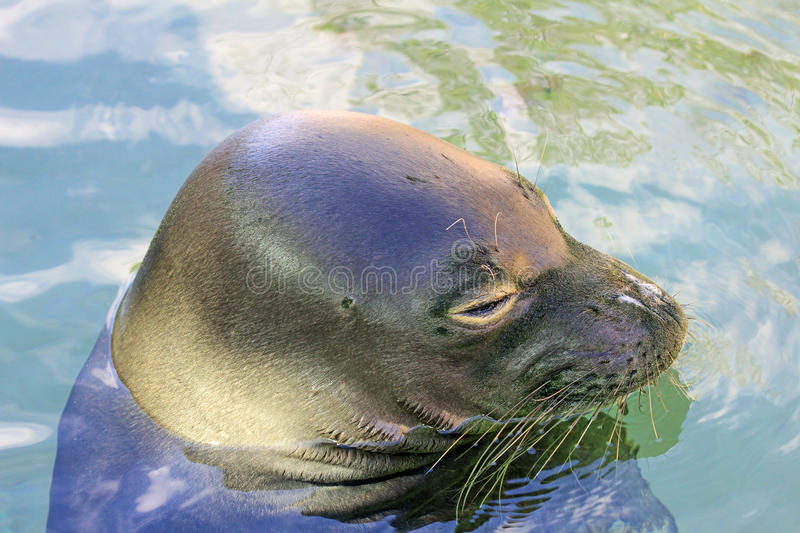 Monk Seal's head royalty free stock photo