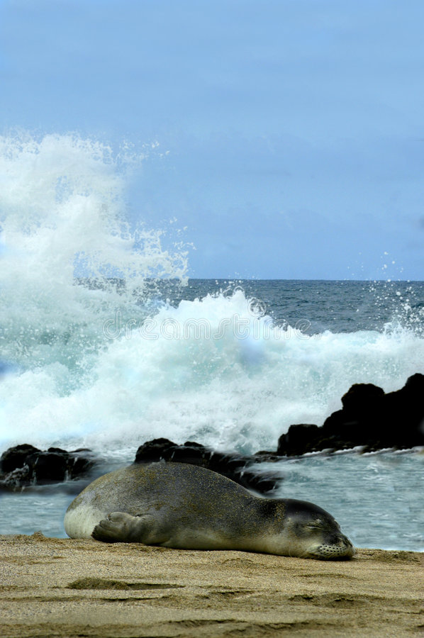 Download Monk Seal Surrounded By Splash Stock Image - Image: 2675449