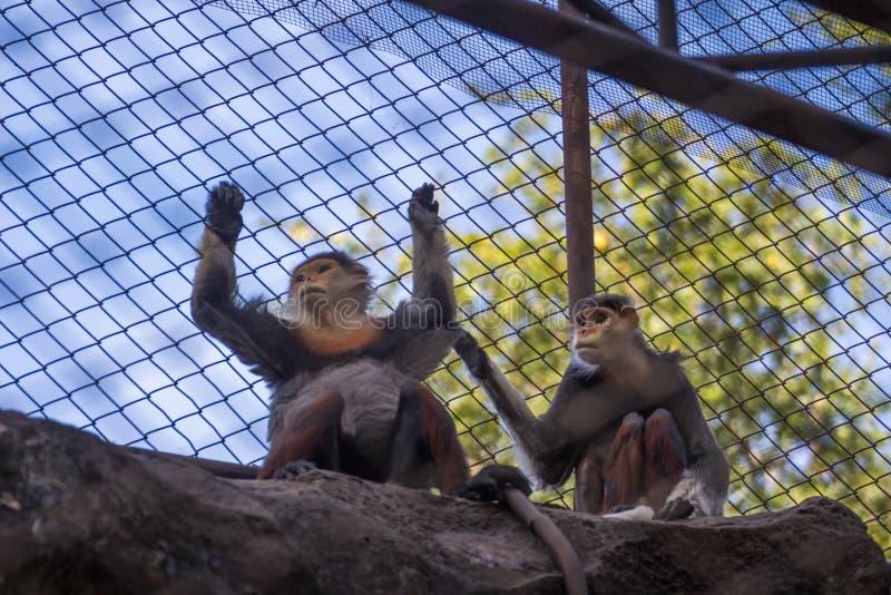 Monkey в клетке, глазах унылый стоковая фотография rf