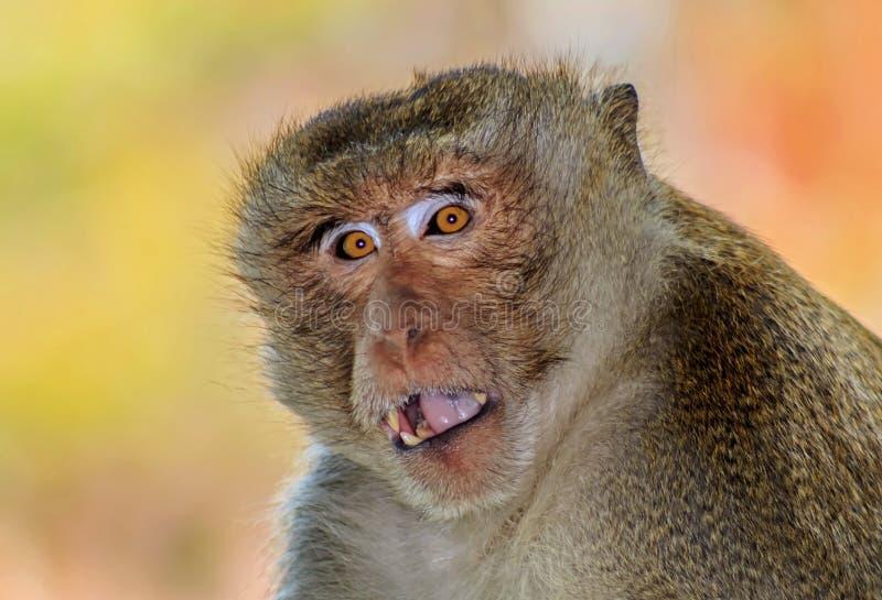 Monkey сидящ, дикая сторона обезьяны, глаза обезьяны стоковое изображение