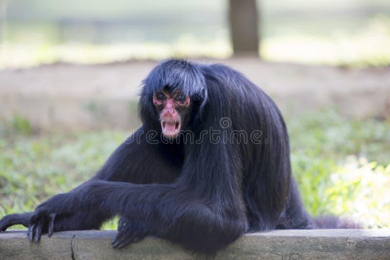 Monkey сидеть в парке outdoors с агрессивным выражением, Brazi стоковая фотография rf