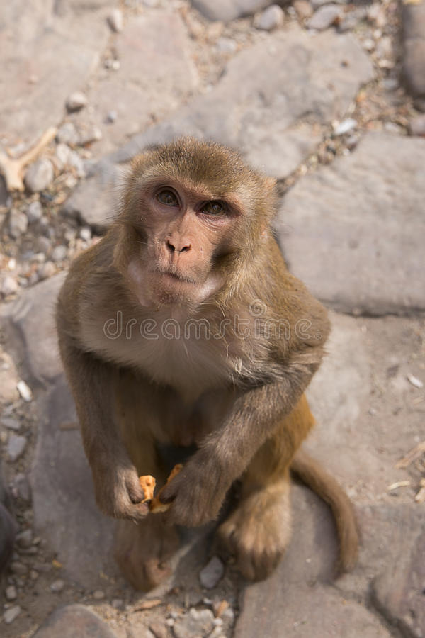Monkey смотреть вверх, висок обезьяны, Джайпур, Раджастхан, Индия стоковая фотография rf