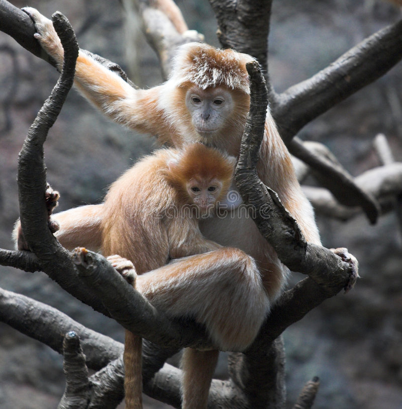 Monkey. Mother and baby in the Bronx zoo royalty free stock photography