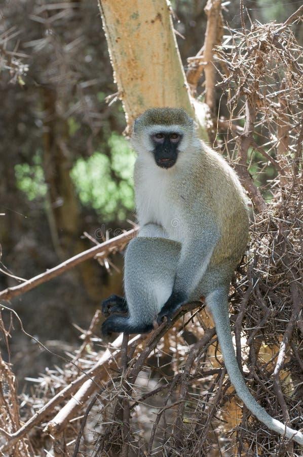Free Monkey Stock Photos - 13564283