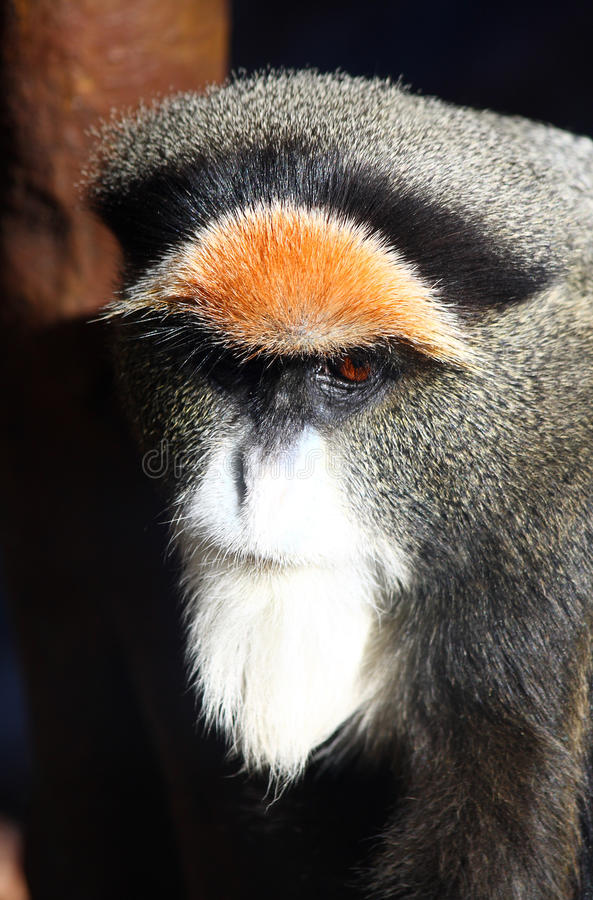 Monkey. Brazza's monkey, Cercopithecus neglectus stock image