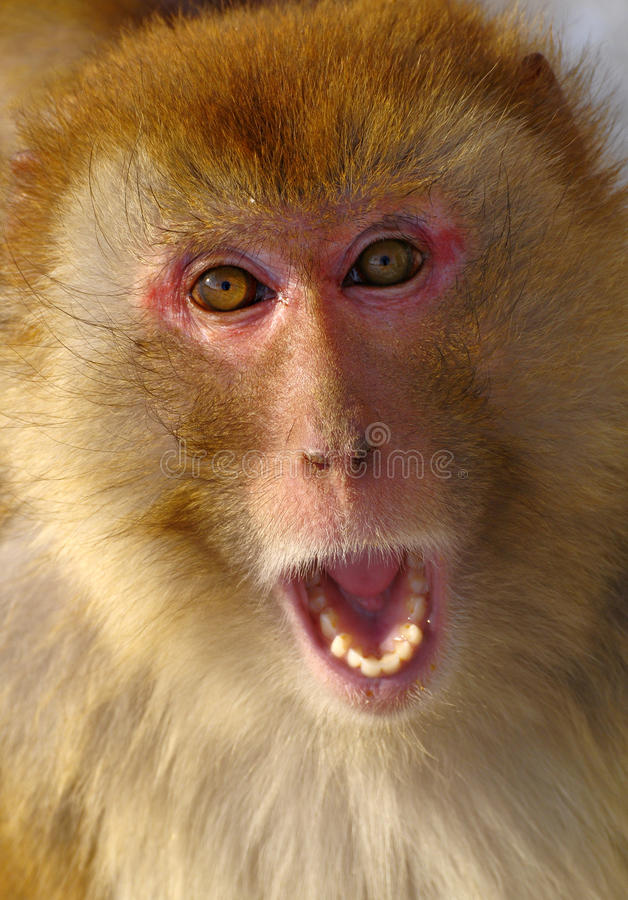 Download Monkey stock photo. Image of macaques, face, bushy, monkeys - 17962468