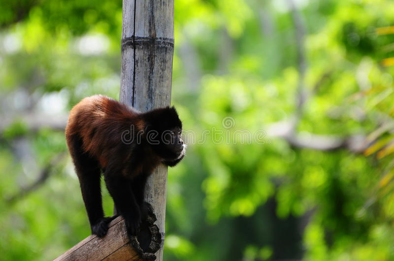 Monkey. In a Florida zoo royalty free stock photography