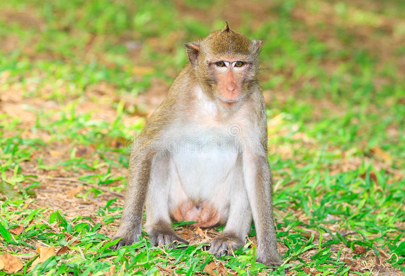 Monkey. Macaque monkey in the public park stock images