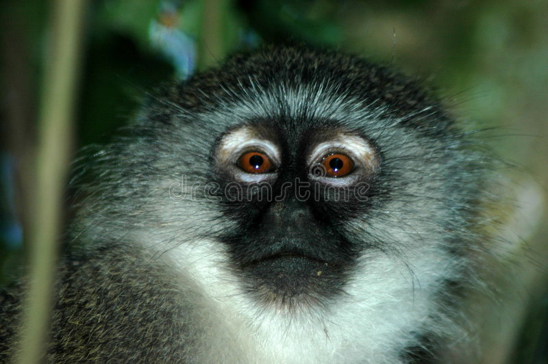 Monkey. Beautiful head portrait of an African Vervet Monkey face or Blouaap (Chlorocebus Aethiops) watching other monkeys in a game reserve in South Africa royalty free stock photos