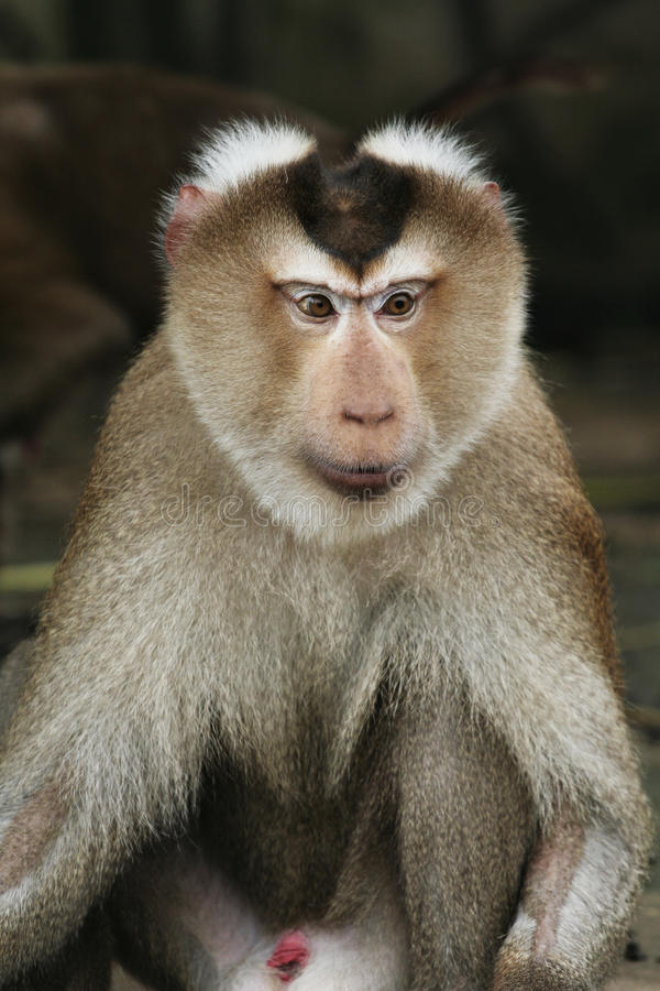 Monkey. A monkey in a forest royalty free stock images
