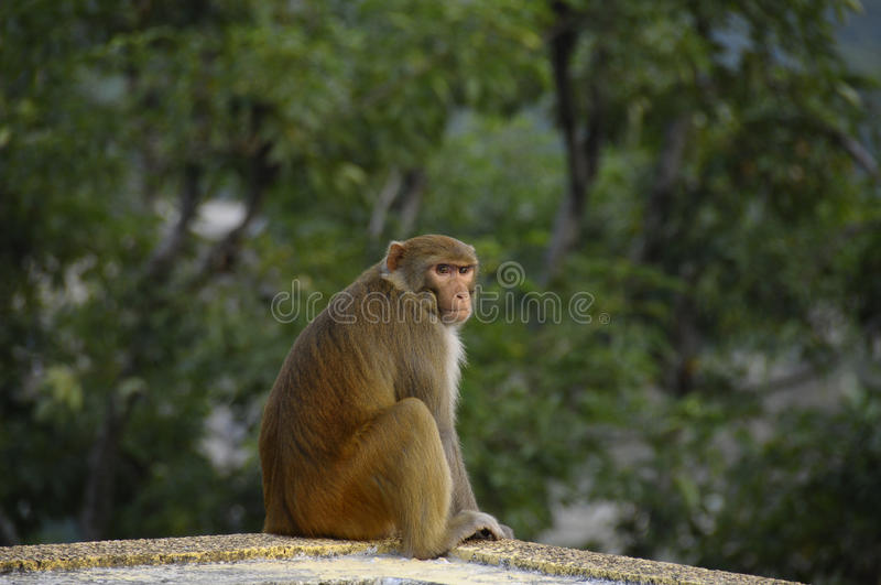 Download Monkey stock photo. Image of scamp, stare, himalayas - 23660968