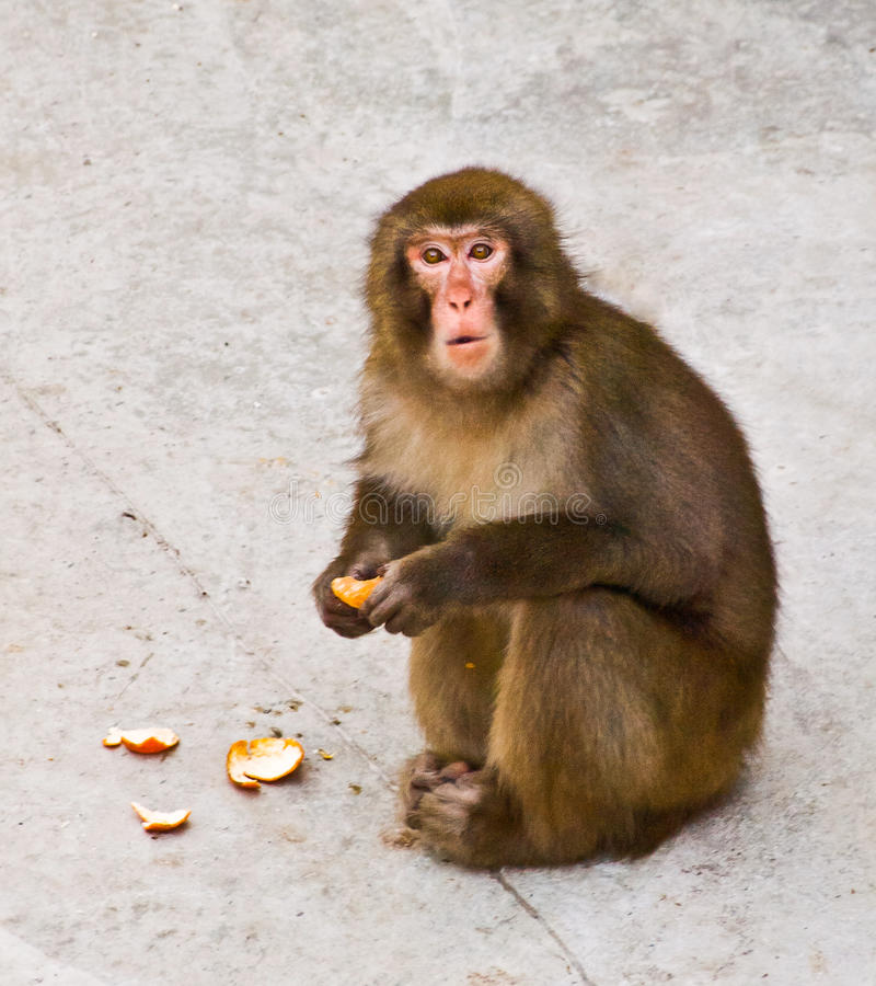 Download Monkey stock photo. Image of sitting, look, monkey, brown - 23820030
