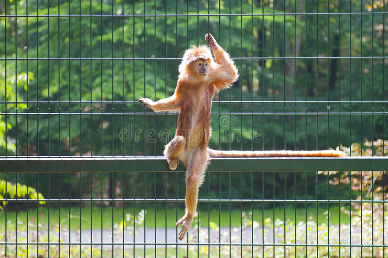 Download Monkey stock photo. Image of branch, mammal, exotic, langur - 26053042