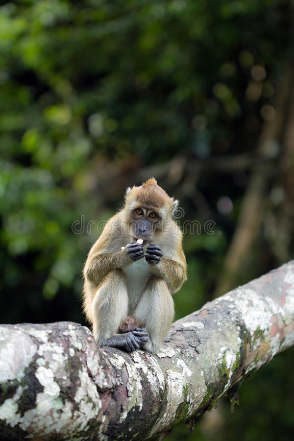 Download Monkey stock image. Image of crunching, tailed, conservation - 27026175