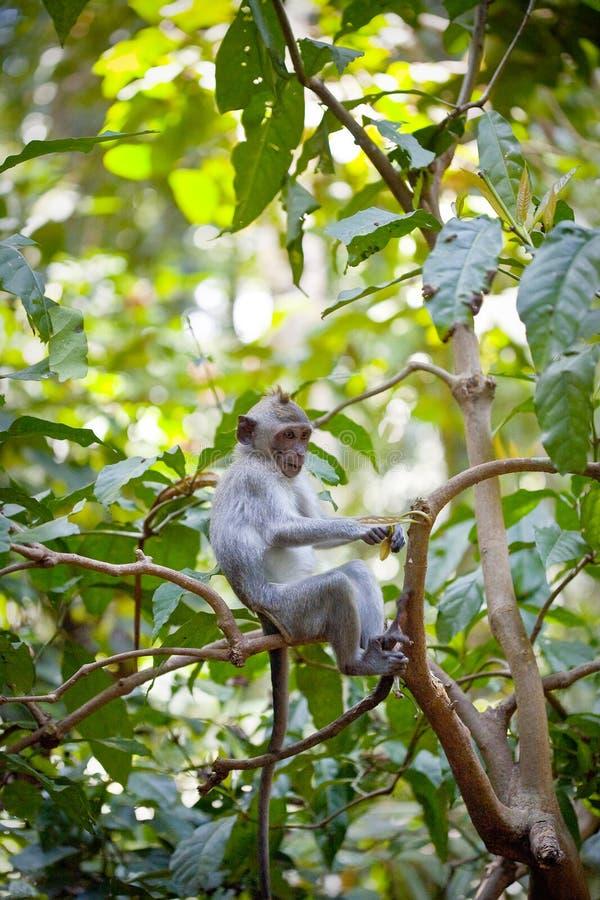 Free Monkey Royalty Free Stock Photos - 27776798