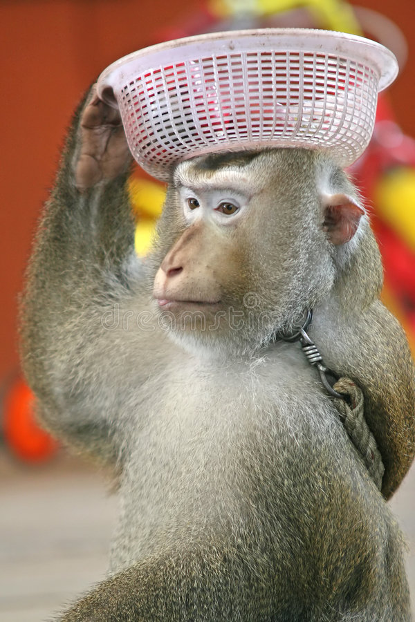 Monkey. A monkey carrying a bowl of fruit on his head royalty free stock image