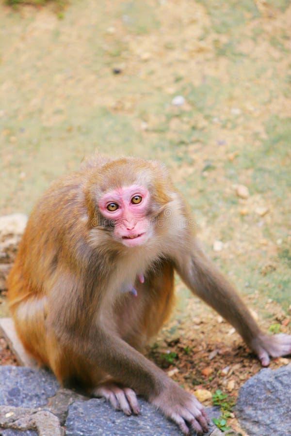 Free Monkey Royalty Free Stock Photography - 5315467
