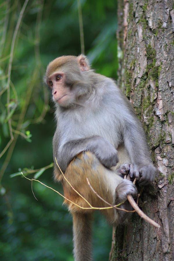 Free Monkey Royalty Free Stock Photos - 6651638