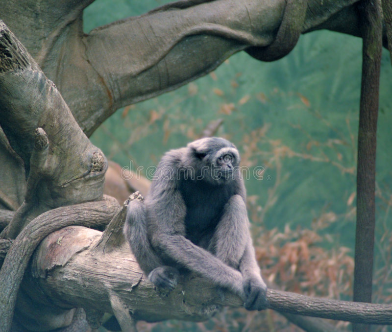 Download Monkey stock image. Image of branches, monkey, boughs, looking - 73093