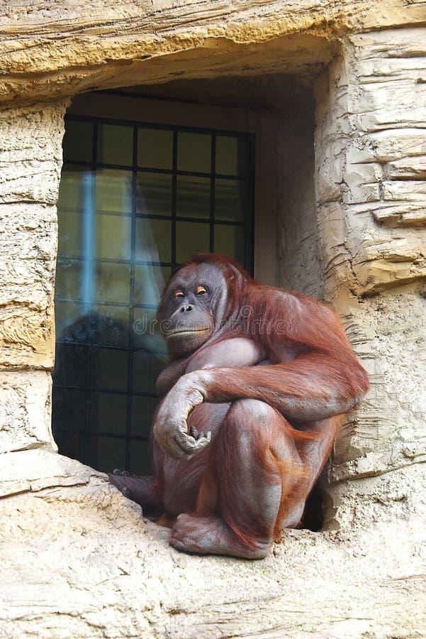 Monkey. Animals monkey among the rocks royalty free stock photos