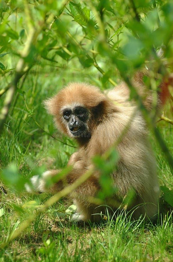 Free Monkey Royalty Free Stock Photo - 939455
