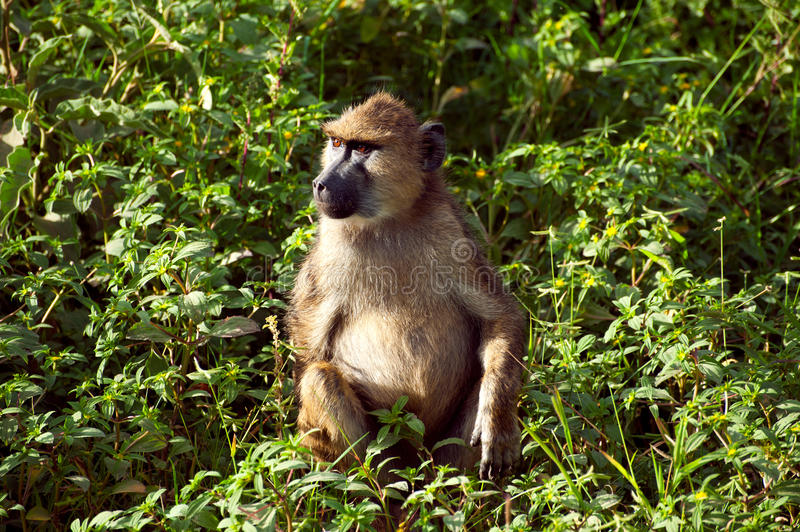 Monkey From Africa Stock Photos
