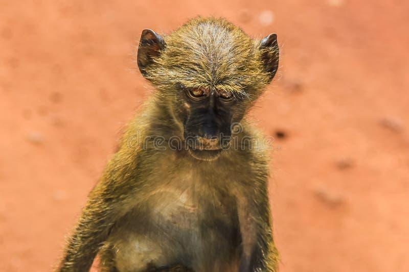 Monkey. Portrait, Ngorongoro National Park Tanzania, Africa stock image