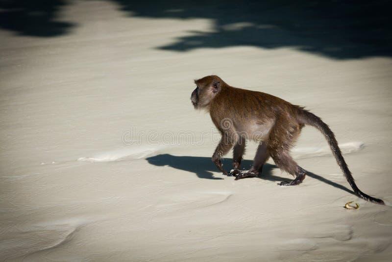 Monkey alla spiaggia della scimmia nell 39 isola del phi del - Alla colorazione della spiaggia ...