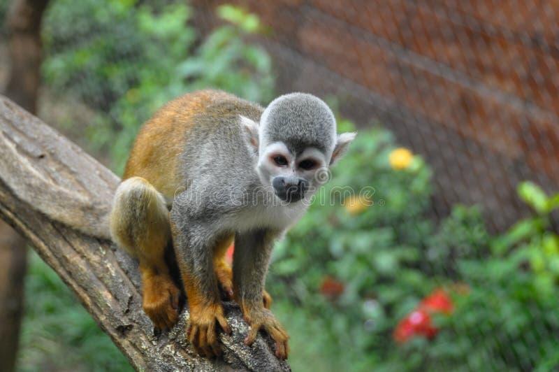 Monkey allo zoo, Cali, Colombia immagini stock libere da diritti