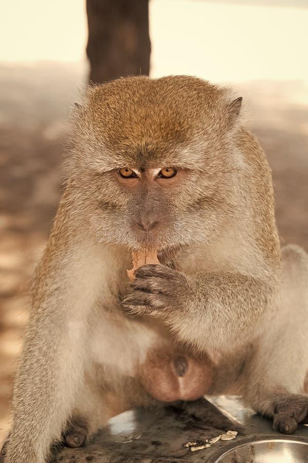 Monkey animal eat food. Primate sit outdoor. Cute animal. Monkey day. Wild nature and wildlife. Zoo.  stock photos
