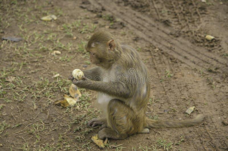 Monkey of asian. Eating banana stock photo