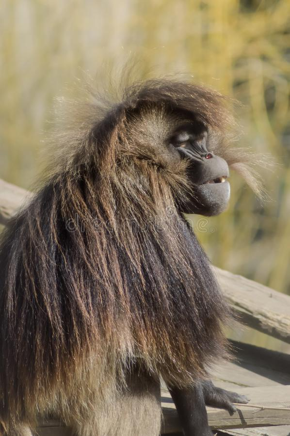 Monkey baboon gelada sitting royalty free stock photo