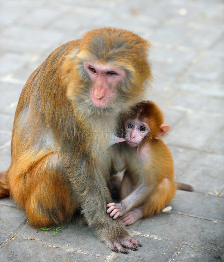 Download Monkey Baby Stock Images - Image: 21561374
