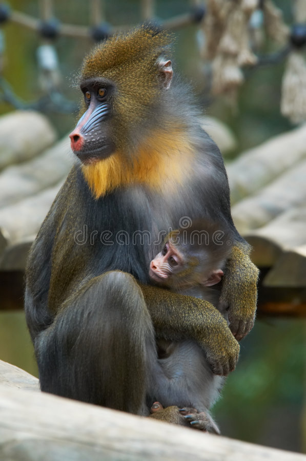 A monkey and baby. Bright colored monkey with baby royalty free stock photography