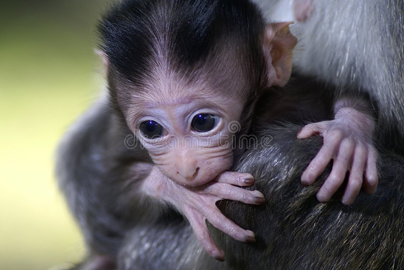 Monkey baby biting hand. A long tailed macaque baby biting its own hand. Born black cling to its mother. background of green stock images