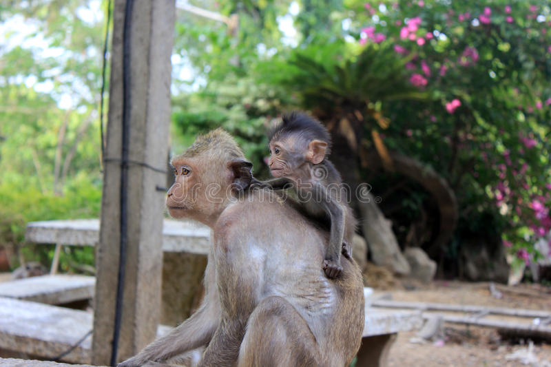 Monkey with baby royalty free stock images