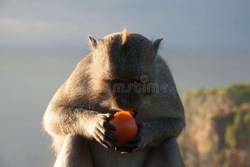 Monkey in Bali Eating a Tomato royalty free stock photos