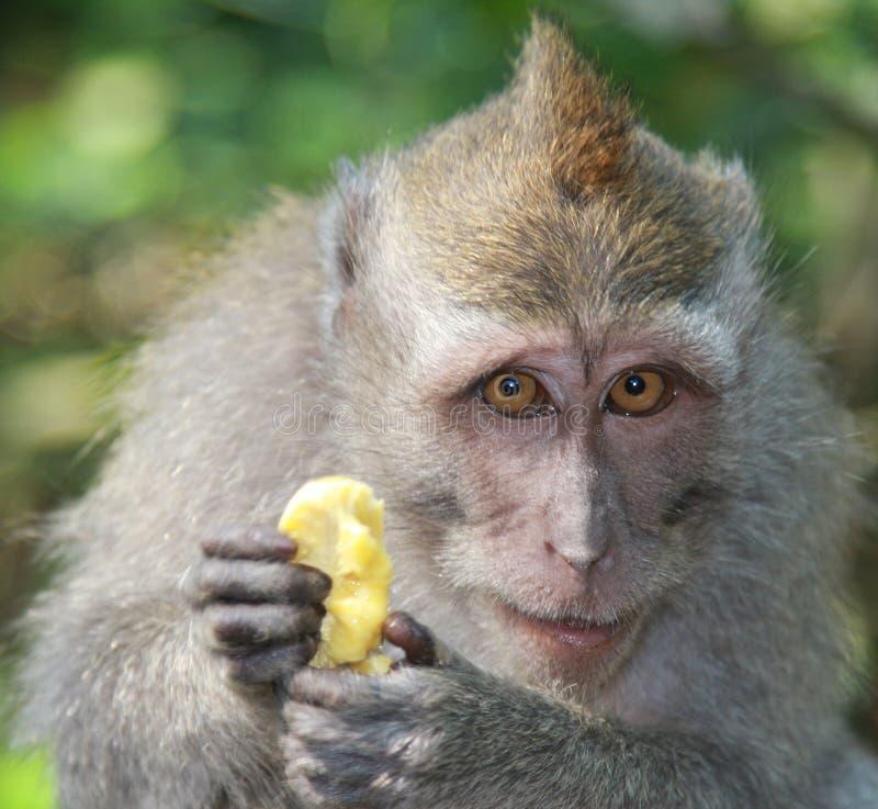 Monkey with banana stock images