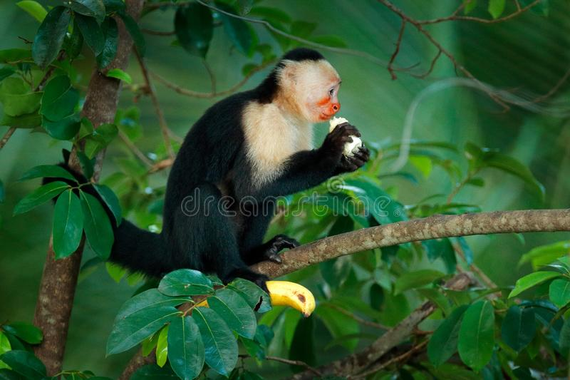 Monkey with banana. Black monkey hidden in the tree branch in the dark tropical forest. White-headed Capuchin, feeding fruits. Animal in nature habitat stock photos