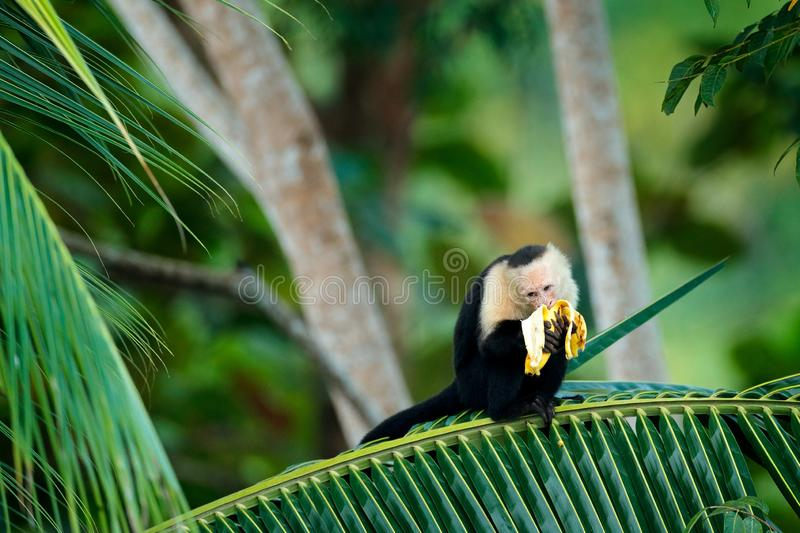 Monkey with banana. Black monkey hidden in the tree branch in the dark tropical forest. White-headed Capuchin, feeding fruits. Animal in nature habitat royalty free stock image