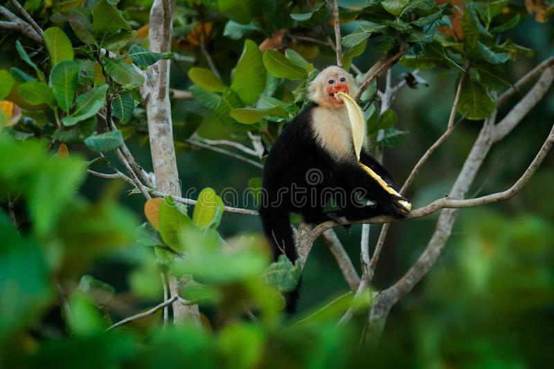 Monkey with banana. Black monkey hidden in the tree branch in the dark tropical forest. White-headed Capuchin, feeding fruits. Animal in nature habitat stock image
